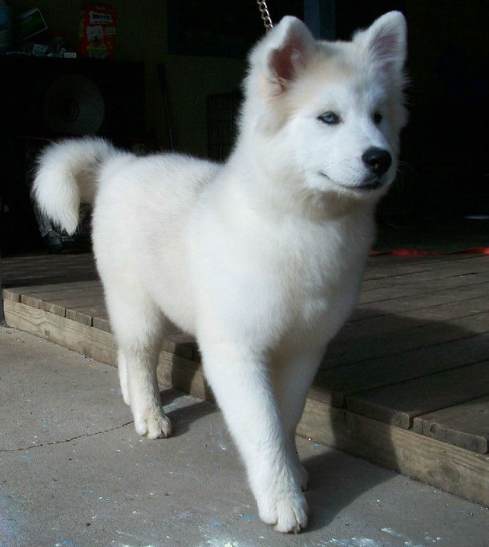 Okay I am officially in love with this, an akita husky mix!! Akita  body with the blue husky eyes <3