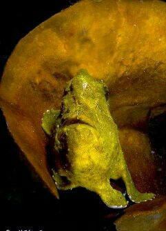 Frogfish from Bangka Island Northern Sulawesi