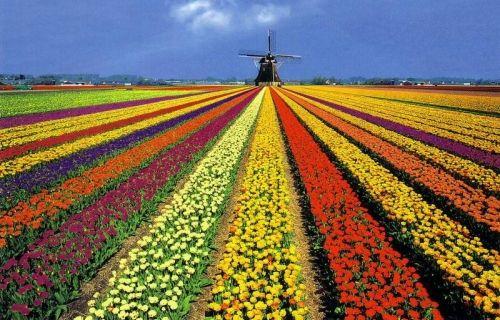 Campos de tulipanes en Holanda  Esta magia del país neerlandés estalla en primavera, cuando florece la planta que es el símbolo de esta tierra: el tulipán.