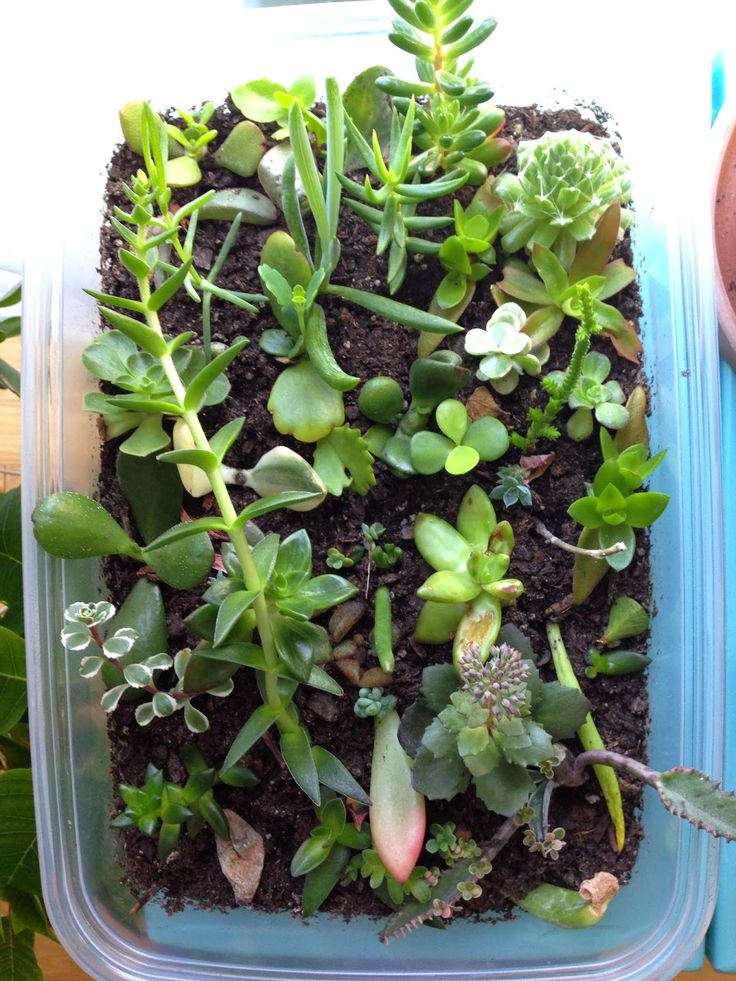 how to propagate succulents or how to make more succulents from other succulents an update. Black Bedroom Furniture Sets. Home Design Ideas