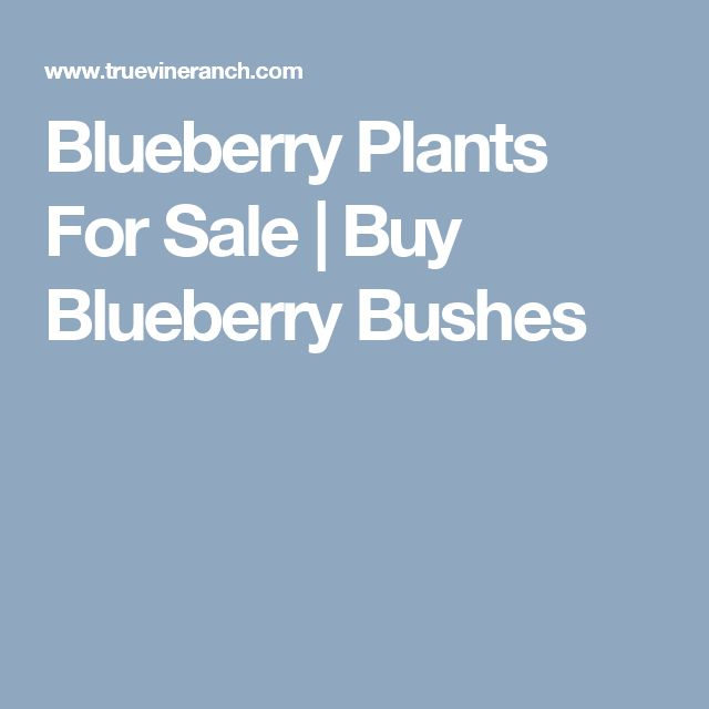 Blueberry Plants For Sale | Buy Blueberry Bushes