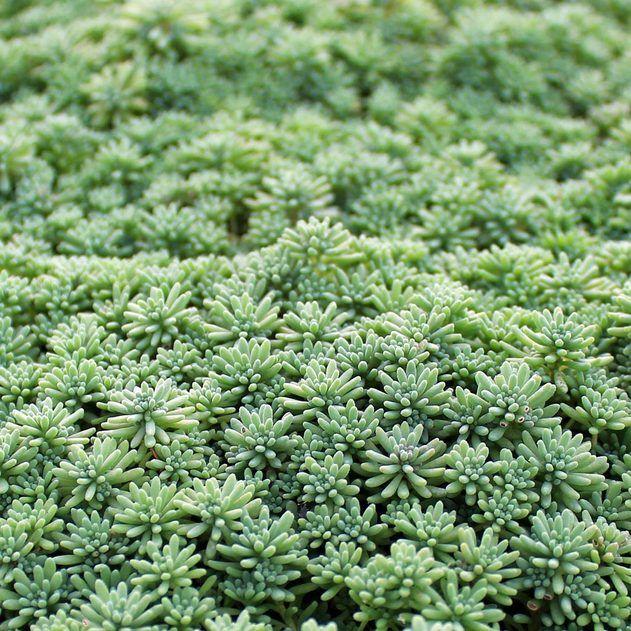 Sedum Pallidum Var Bithynicum Succulent Ground Cover Succulent Landscaping Sedum Ground Cover
