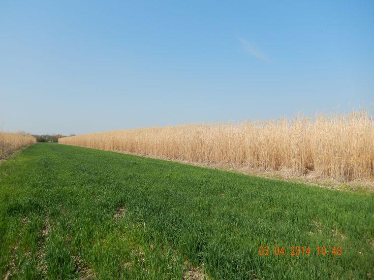 Plantatie Miscanthus Arad (Romania)