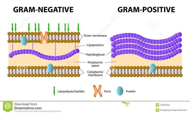 gram positive vs gram negative - Google Search