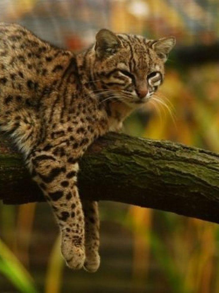 фото жоффруа кошка культурного растения цвету