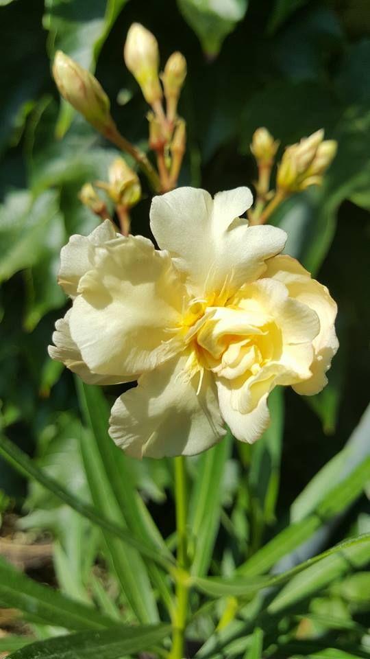 Sárga rózsás leander.