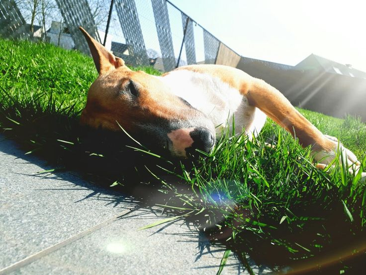 Loves the sun #mini #bullterrier