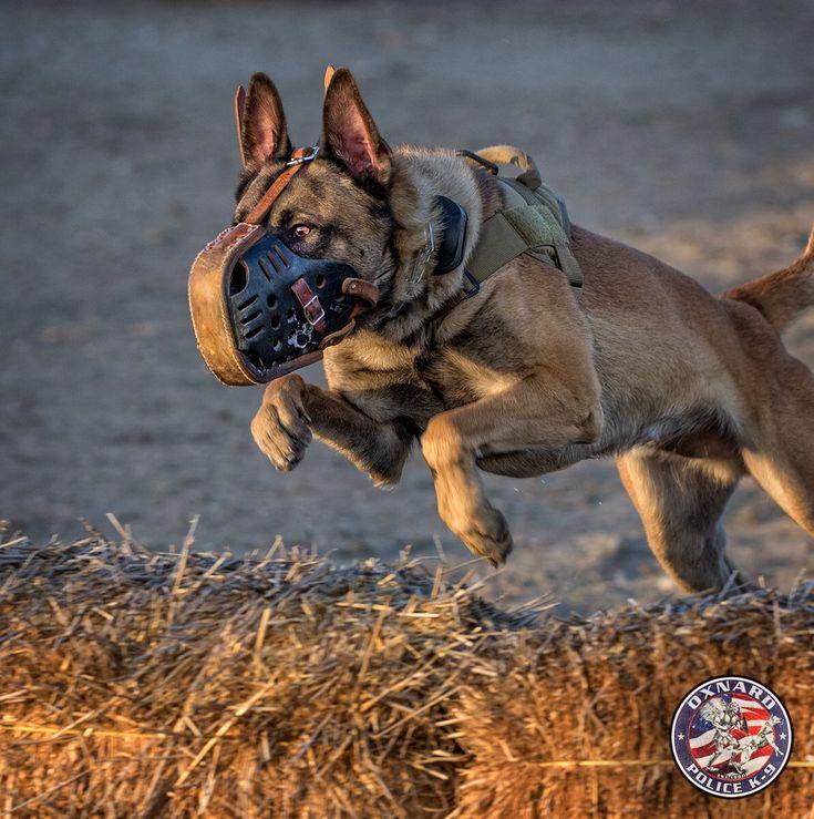 2201 best K-9 Heroes images on Pinterest Heroes, German shepherd - k9 officer sample resume