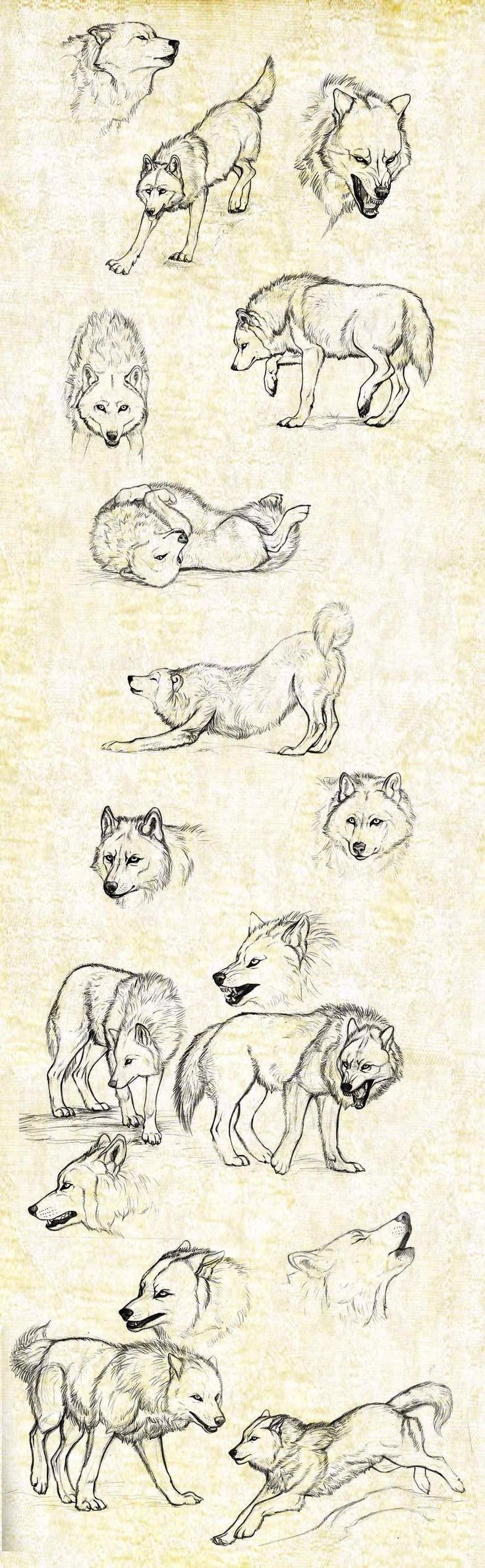 Denver's wolf sketches (one of them has to be a husky, though, because you never see a wolf's tail curl up like that):