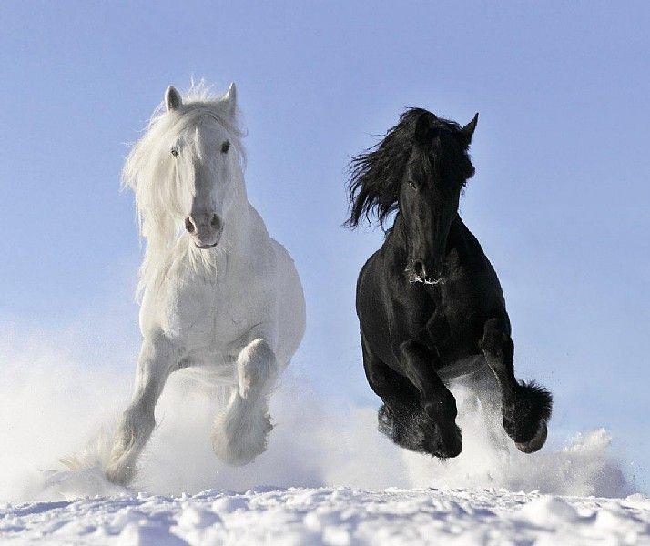 Shire Horse | Shire Horse mit einem Friesen - Fotorecht Shutterstock