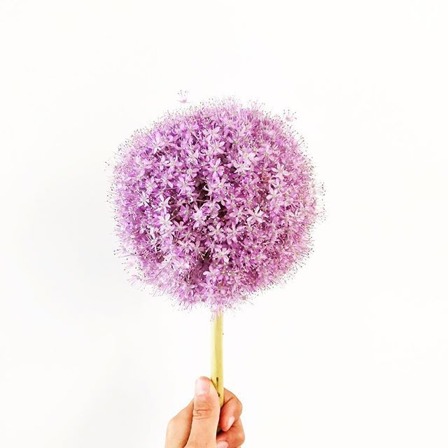 """Happy Monday, babes! This is for you. A little reminder to not get sucked into the """"ugh, it's Monday, womp womp"""" song and dance - but instead look for all the awesome things you have to be grateful for, like this giant purple pom-pom of a flower 🙌🏼 #doyourfutureselfafavor"""