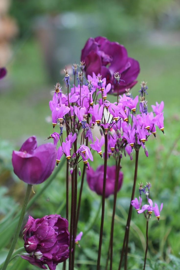 #Dodecatheon - Twitter Search