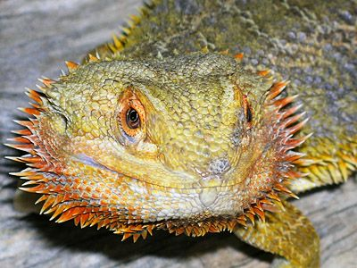Best Bearded Dragons Images On Pinterest Iguanas Dragons And - Majestic dragon lizard caught playing leaf guitar indonesia