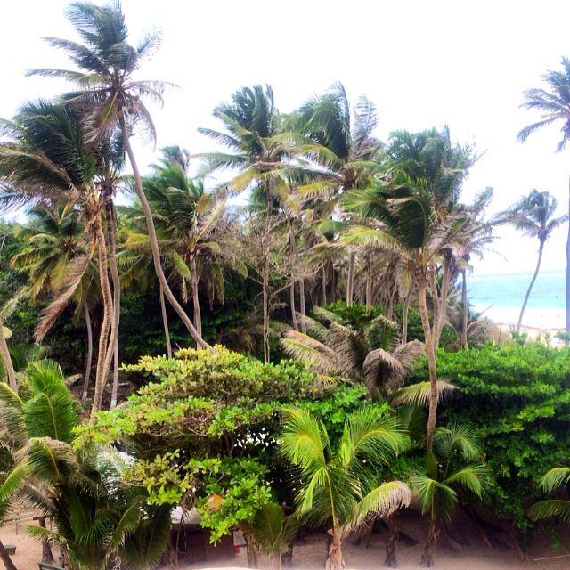 Palms...Barbados