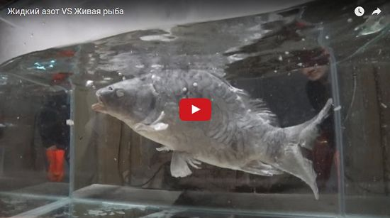 (Video) FUERTES IMÁGENES: Mete a un pez en nitrógeno líquido para ver qué pasa - http://www.esnoticiaveracruz.com/video-fuertes-imagenes-mete-a-un-pez-en-nitrogeno-liquido-para-ver-que-pasa/