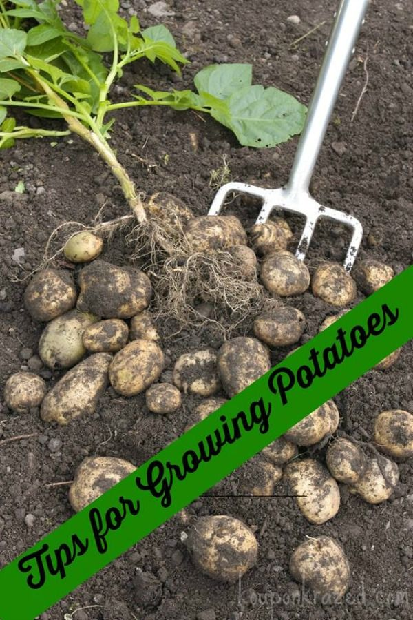 What are some tips on growing and harvesting potatoes?