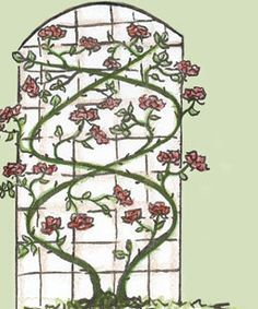 training a rose on a trellis... main cane must go as horizontal as possible, at least 45 degree angle, weaving back and forth across the trellis... the roses then grow on the lateral offshoots of these woven main canes...