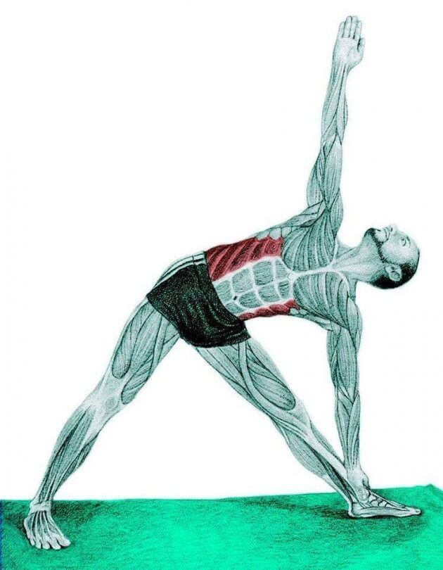 Растягивает внешние косые мышцы живота.