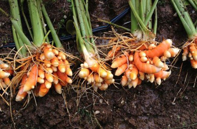 how to grow your own turmeric. We all know that turmeric is one of the world's healthiest foods. It's antiseptic and antibacterial properties