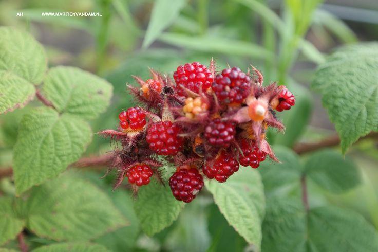Japanse wijnbes /Rubus phoenicolasius, verwant aan braam en framboos, kleine zoete, smakelijke vruchten die direct vanaf de plant zijn te eten (niet houdbaar en dus: niet te koop) unieke delicatesse!