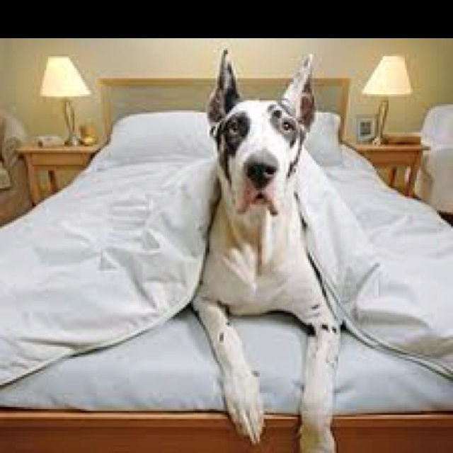 Great Dane In Bed #Dog #Gute