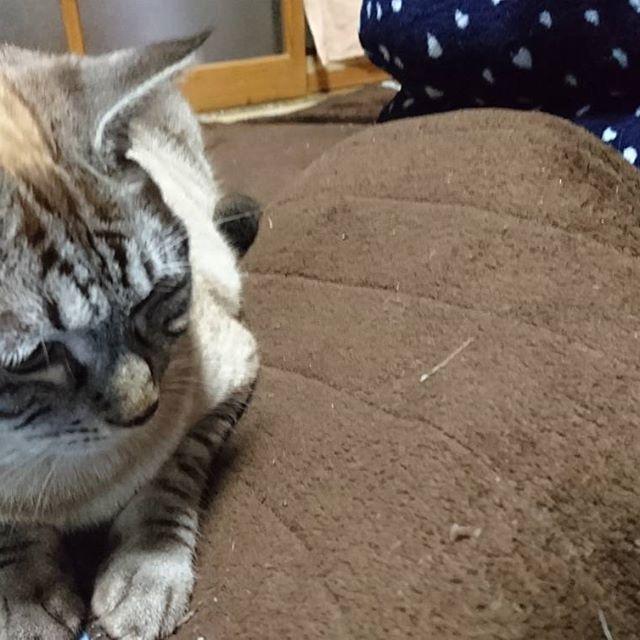 つぶ 「にゃにしてるにゃ?👀」 さくら 「ほっといてにゃ😽」 シーツカバーの中に潜り込むさくらちゃん😂  #愛猫#キジ白 #シャムトラ #シャムトラ男子 #シャムトラ部 #シャムミックス #ねこ#ネコ#猫 #cat#cats#catstagram #mycat#にゃんこ #tsubu#sakura #きじしろ#キジ白猫 #さくら#さくらちゃん #つぶ#つぶちゃん