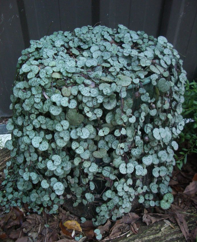 Chain of hearts or the Sweetheart vine: indigenous to South Africa. We have one...Google Image Result for http://www.wisdom-earth.com/includes/images/plants/Chain%2520of%2520Hearts.jpg