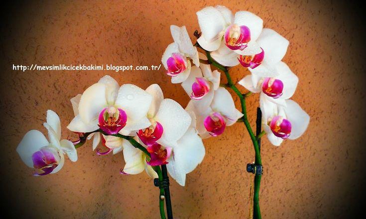 Evde Orkide Nasıl Bakılır         Evde yetiştirdiğimiz orkideler dünyanın tropik ve yarı tropik iklim kuşaklarından geliyor. Evde başarılı ...