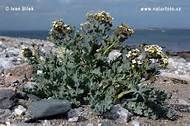 Sea Kale: delicious & hardy in the Brassicaceae family