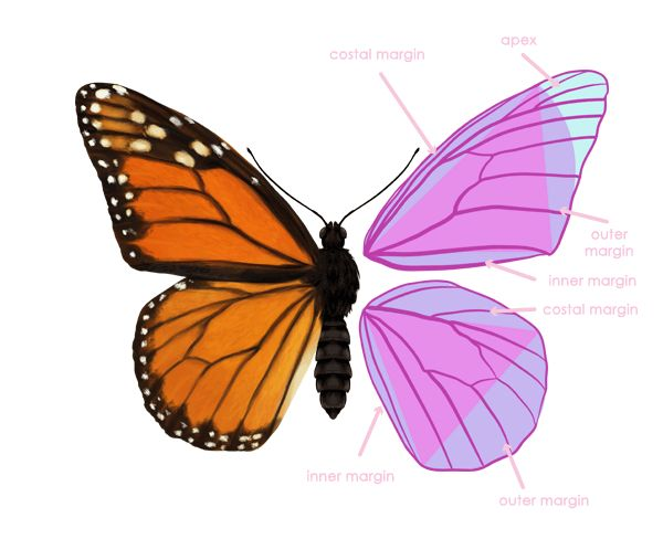 How to draw animals: butterflies their anatomy and wing ...