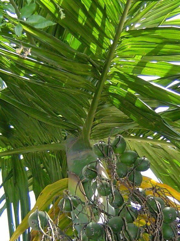 Natürlich Gesund: Betelnuss (Areca catechu)     Betelnuss (Areca cat...