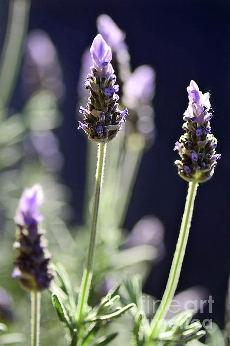 A garden of Lavender with the late afternoon sunshine illuminating some of the petals from behind. Hence my title Backlit Lavender. #Backlit #Lavender by #Kaye_Menner #Photography Quality Prints Cards Products with a money-back guarantee at: https://kaye-menner.pixels.com/featured/backlit-lavender-by-kaye-menner-kaye-menner.html