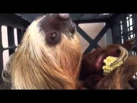 Stephano, Como Zoo's Third Sloth!