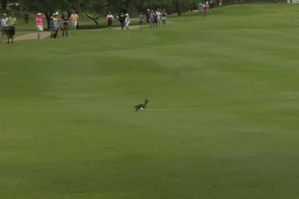 Squirrel dodges golf ball during PGA tournament in Texas