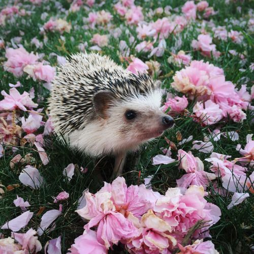 "tessarecovering: "" My hedgehog, Hazel, has got to be one of the cutest ESAs.  I took her outside to enjoy the spring weather the other day. I think she had fun walking through the flower petals.  P.S. You can follow Hazel on Instagram @..."