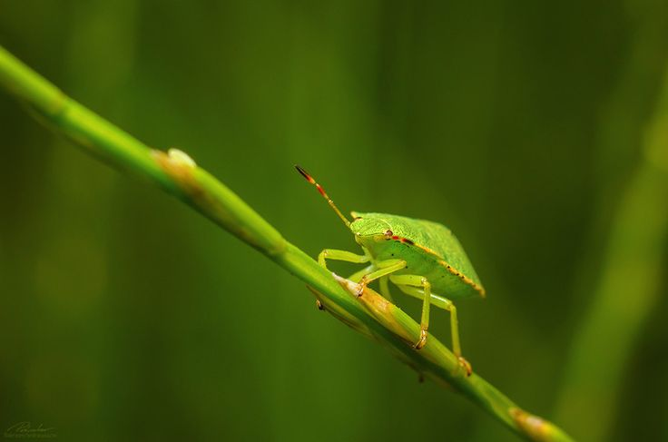 Stink bug by András Pásztor on 500px