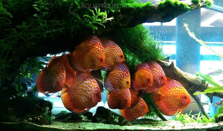 Aquaproject discus pinterest for Best place to buy discus fish