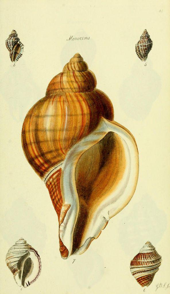 seashells, conchological illustrations.