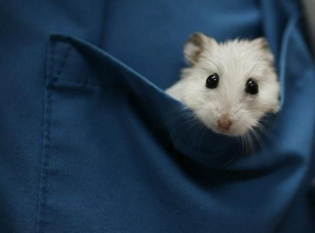 hamster in blue pocket, although some may see the pocket as white... in which case, the hamster is gold :)
