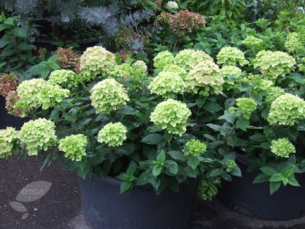 Buy hydrangea Hydrangea paniculata 'Little Lime ('Jane') (PBR)': Delivery by Crocus.co.uk