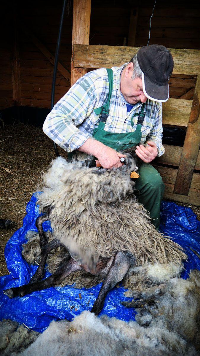 Strzyżenie owiec w Siedlisku na Wygonie na Mazurach