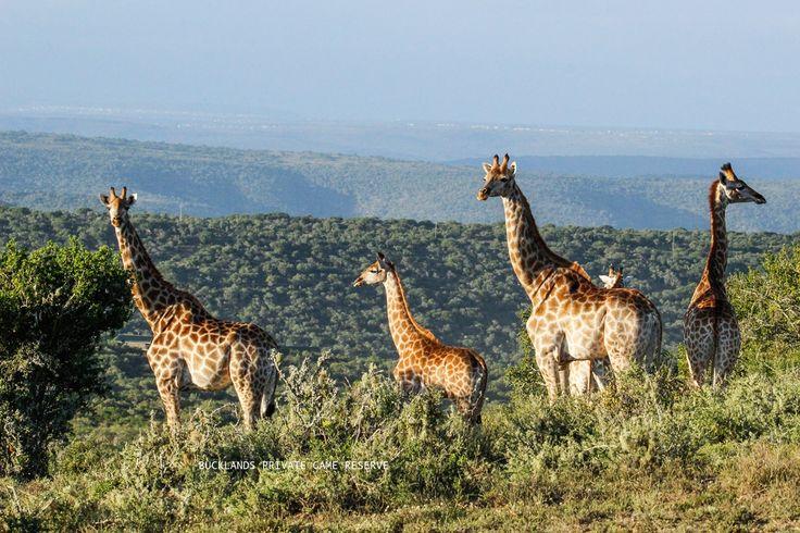 Tall, majestic and peaceful Giraffes of Bucklands. #photography #giraffe #bucklandsprivategamereserve #bucklandswildlife #africa #southafrica #gamedrivesatbucklands #gamedrives