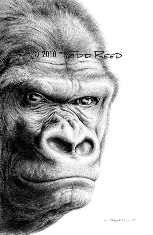 "Todd Reed Art. (gorilla) Stare Down - Western Lowland Gorilla  Graphite Drawing - Image size 7.5""x12"""