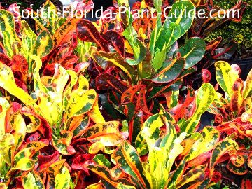 red leaf florida plants | of the smallest croton plants is Mammy - a red variety with bright red ...