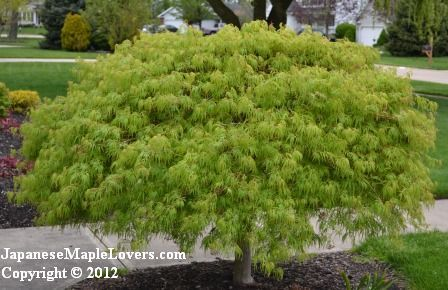 Acer palmatum dissectum 'Waterfall'     'Waterfall' is in the laceleaf weeping family of Japanese maples, but unlike the ones that most people are familiar with this one is not red in color.  It's green and it is beautiful!