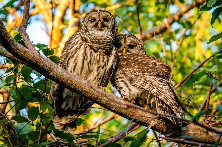 Две совы на ветке