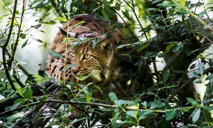 A Eurasian lynx stalking prey in brushwood. The Guardian.