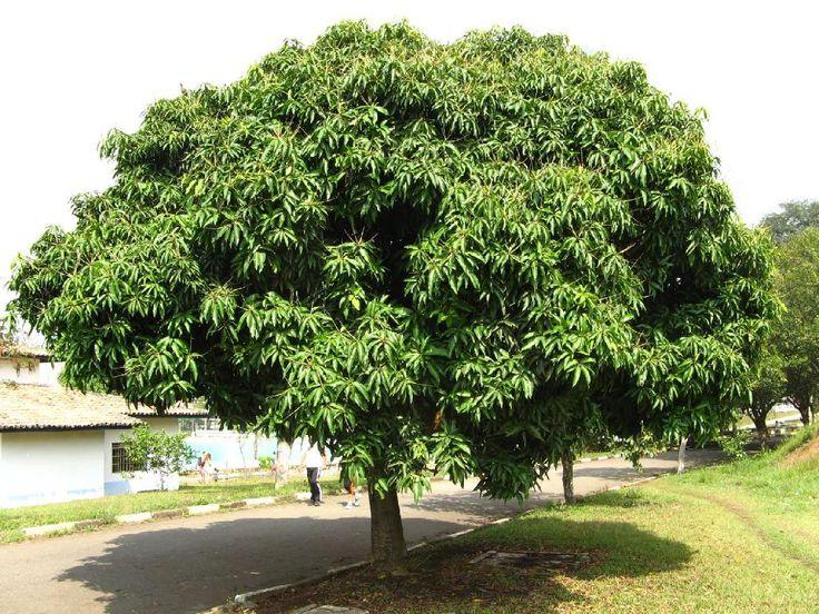 solo ideal para um pomar domestico - mangueira