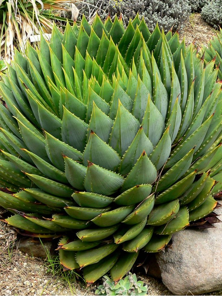 the characteristics and the benefits of the aloe plant The medicinal uses of aloe vera are amazing aloe vera remedies have huge benefits aloe vera is a famed household plant well-loved by many find out why it's worth having one in your home too.