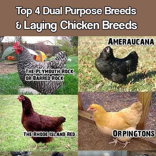 Chickens coops etc chickens breeds raising chickens backyard chickens